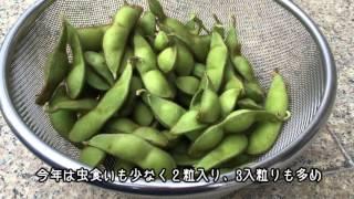 丹波黒大豆枝豆収穫2015105