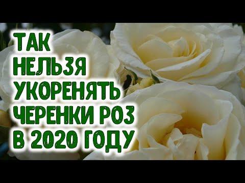 ТАК НЕЛЬЗЯ УКОРЕНЯТЬ ЧЕРЕНКИ РОЗ В 2020 ГОДУ | черенкование | укоренение | укоренить | горяченко | вырастить | черенка | букета | раиса | розы | розу