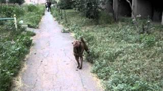 Шарпей потерялся(, 2011-08-02T05:12:10.000Z)
