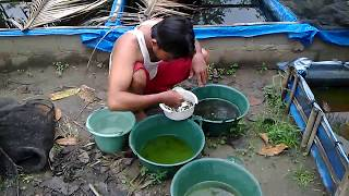 vuclip cara budidaya ikan cupang