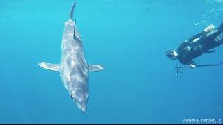 Mako shark encounter - Spearfishing New Zealand