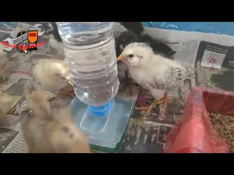 Evde civciv bakımı için suluk yapımı