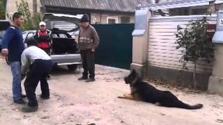немецкая овчарка грей ищет подругу для вязки