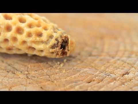 Geburt einen Bienenkönigin