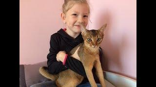 Абиссинская кошка. Знакомство с кошкой Дарси