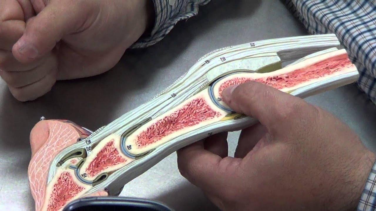 Articulación Falangica de equino - YouTube