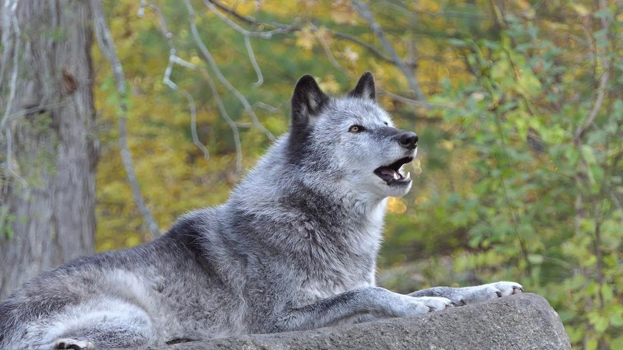 Black Wolf's Beautiful Autumn Howl