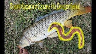 Ловля рыбы на червя дендробена! Реакция карася на дендробена!
