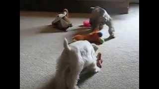 Ontario Miniature Schnauzer Pups