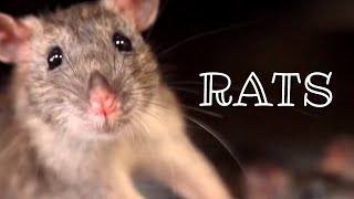 Urban Wildlife. Rats 🐀 | Documentary | Science Channel