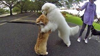 Roku Vs. Labradoodle Slow Motion / ロクさん 対 大きいワンコ 20150918 Welsh Corgi コーギー Dog Shiba Doge Play
