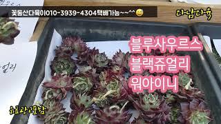 특집/블루사우르스/블랙쥬얼리/워아이니/수량한정/택배가능   꽃동산다육이010-3939-4304