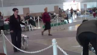 Dalmatians Channel City Kennel Club Show 1-25-10