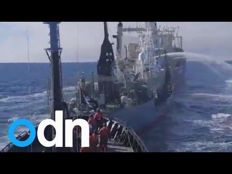 Sea Shepherd primed for more Japanese whaling fleet battles during Operation Icefish