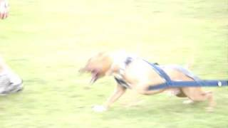 """Pit Bull Weight Pull Training (drag Weight) - Renegade Pits """"magnum"""""""