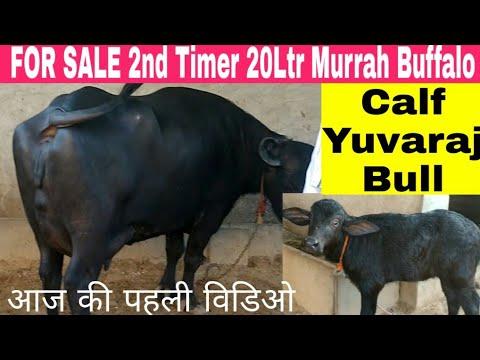 2 Murrah Buffalo FOR SALE 20ltr milk yuvraj bull calf