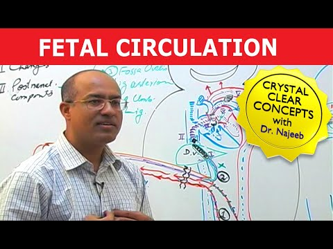 Fetal Circulation - Embryology