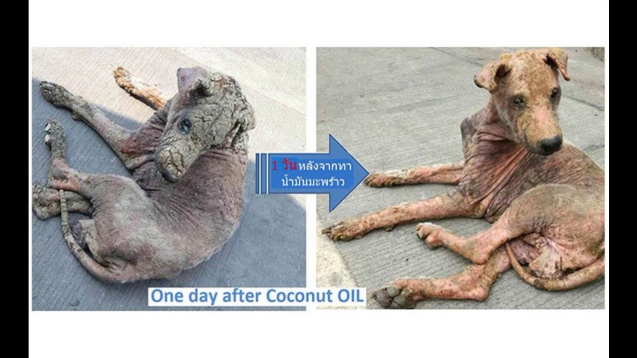 Red Skin Dog Yeast Infection Vs Coconut Oil Youtube