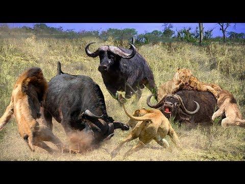 A Brave Buffalo