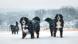 SPRING SNOW DAY!!! Life with 14 Bernese Mountain Dogs! Ep. 6 || vlog016