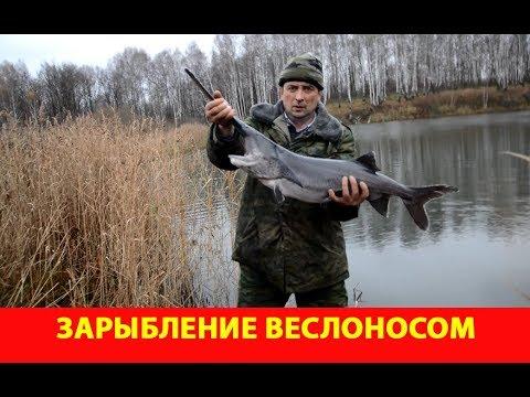 Зарыбление веслоносом. Озеро Кошкино