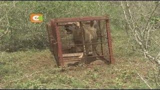 Simba anayewaua watu na mifugo anaswa Kilifi