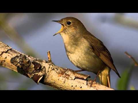 Chant D'oiseau - Rossignol