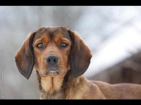 Perro Tejonero de los Alpes / Raza de Perro