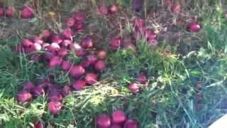 Apple picking in Warwick NY