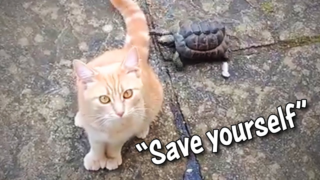 Ozzy Man Reviews: Tortoise vs Cat #2