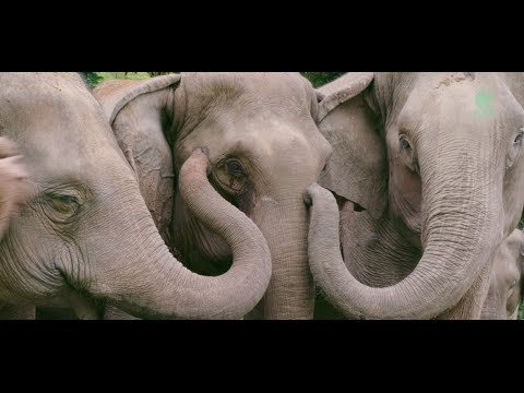 The first moments of talking after elephants reunion