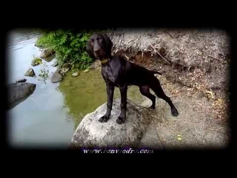 Cachorro Braco Aleman ¿Jugando? | German Shorthaired Pointer Puppy Playing | bonviedro.com