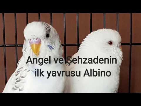Muhabbet Kuşu Angel Ve Şehzade'nin Ilk Yavrusu Çıktı. (Albino)
