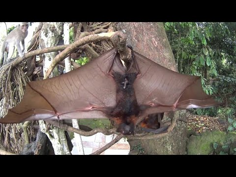 Amazing Fruit Bats from BALI - Furry flying foxes