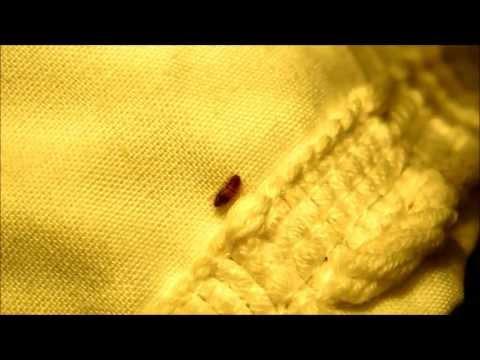 Varied Carpet Beetle Larvae, Anthrenus verbasci, Your Home