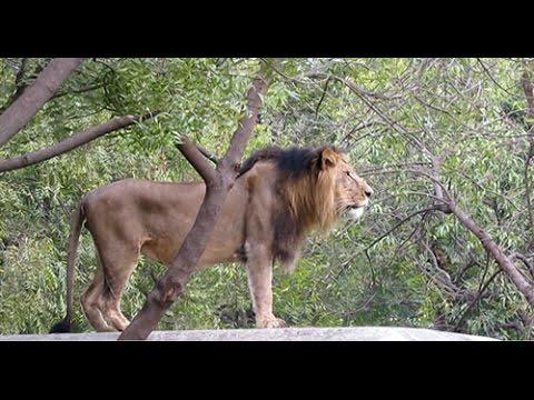 Lion Roaring or Doing Kapalbhati? - YouTube
