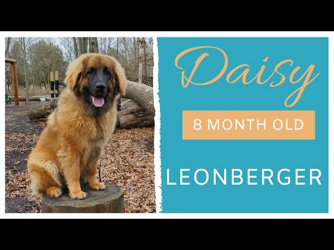 DAISY | 8 MONTH OLD LEONBERGER | OBEDIENCE TRAINING