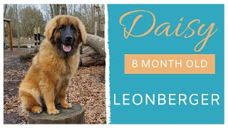 DAISY   8 MONTH OLD LEONBERGER   OBEDIENCE TRAINING