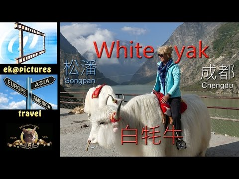 White Yak (Songpan - Chengdu, China)