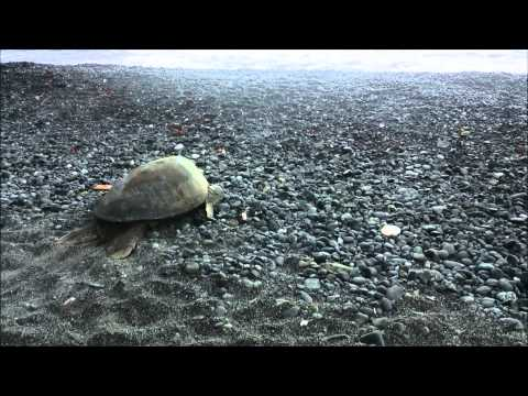 Ogasawara Sea Turtle