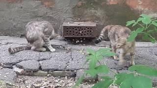 Коты ловят крысу!