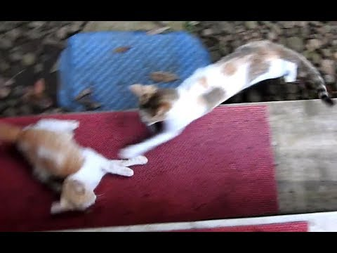 Angry cat weaning kittens with loud scary meows