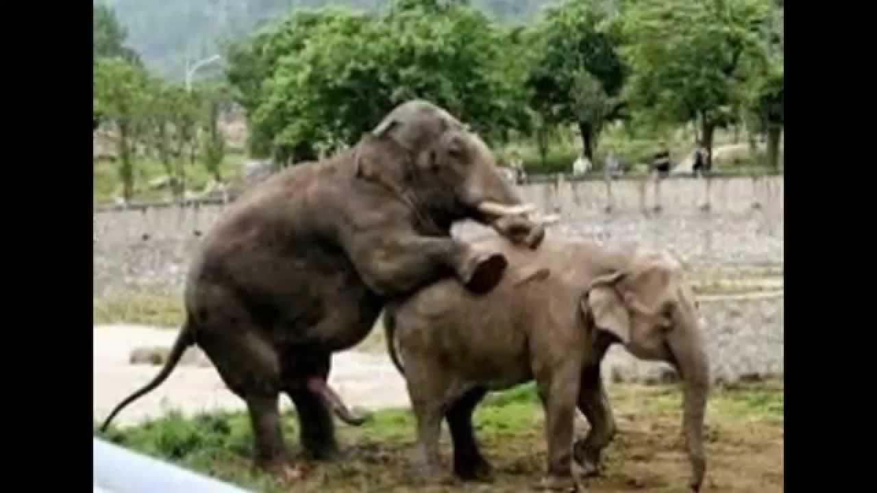 Elephants Mating Rare Images - Youtube-7743