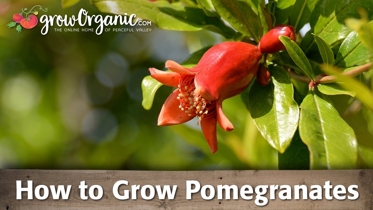 How To Grow Organic Pomegranates You