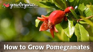How to Grow Organic Pomegranates