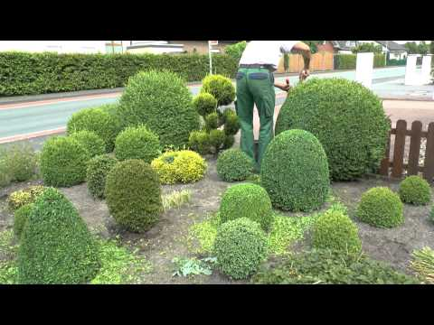 buchsbaum schneiden boxwood prunning just for fun d 2. Black Bedroom Furniture Sets. Home Design Ideas