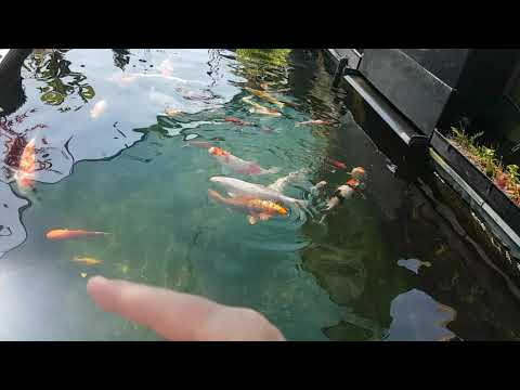 Spotting A Sick Koi, How? Simple.