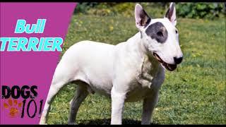Dog 101  Bull Terrier