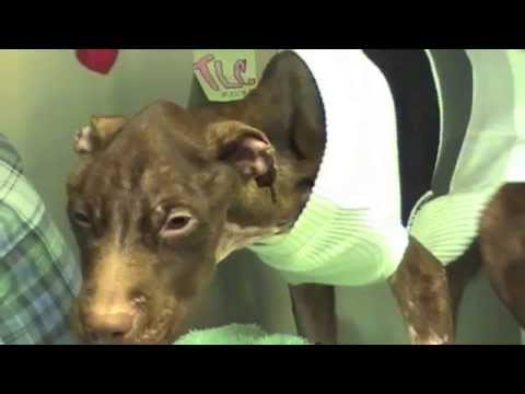 Patrick - Road to Recovery as of March 21, 2011 ***(Video by shelter volunteer Louise M. Denecke)