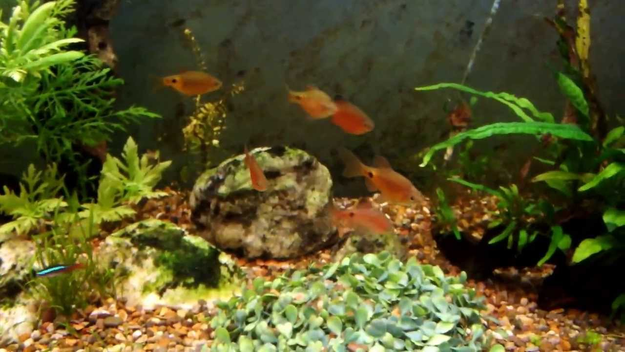 Fish in tank diseases - Rosy Barb Illness Fish Falling Over And Spinning